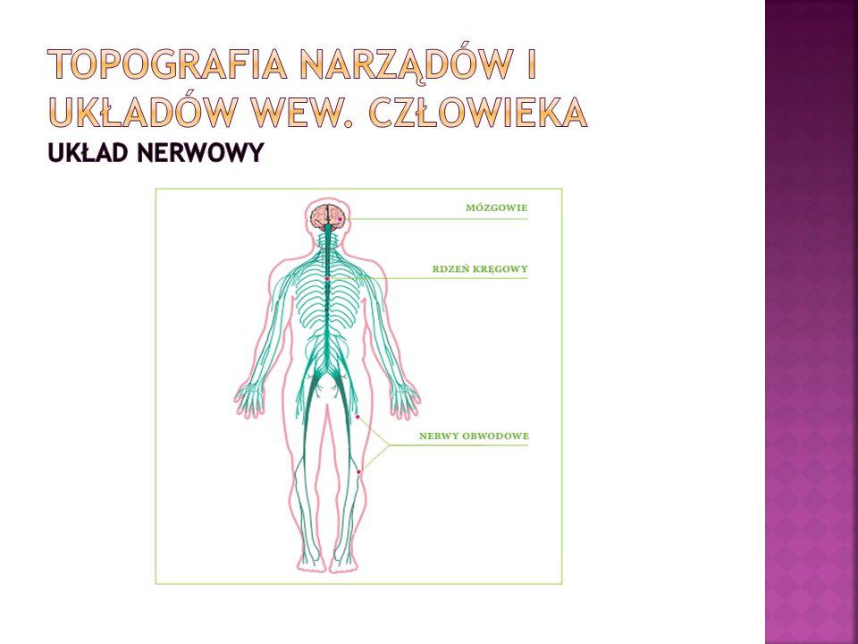 Topografia narządów i układów wew. Człowieka układ nerwowy