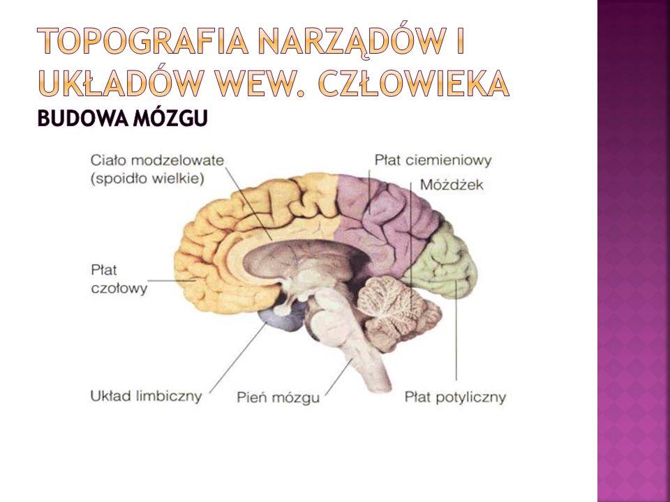 Topografia narządów i układów wew. Człowieka budowa mózgu