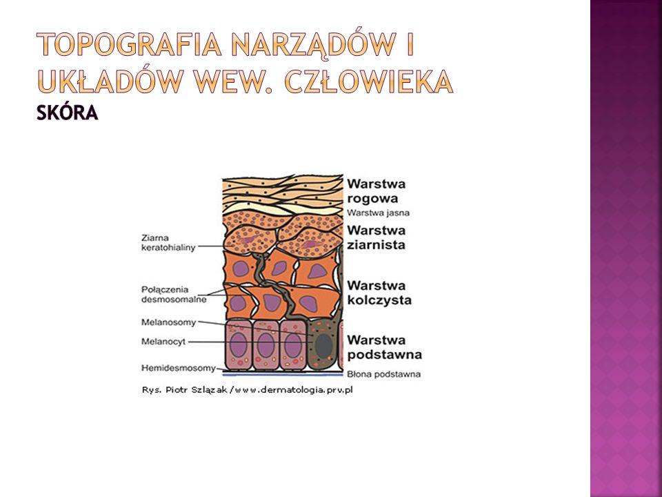 Topografia narządów i układów wew. Człowieka skóra