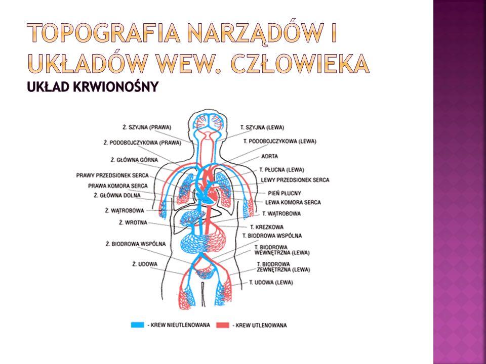 Topografia narządów i układów wew. Człowieka układ krwionośny
