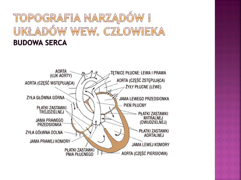 Topografia narządów i układów wew. Człowieka budowa serca
