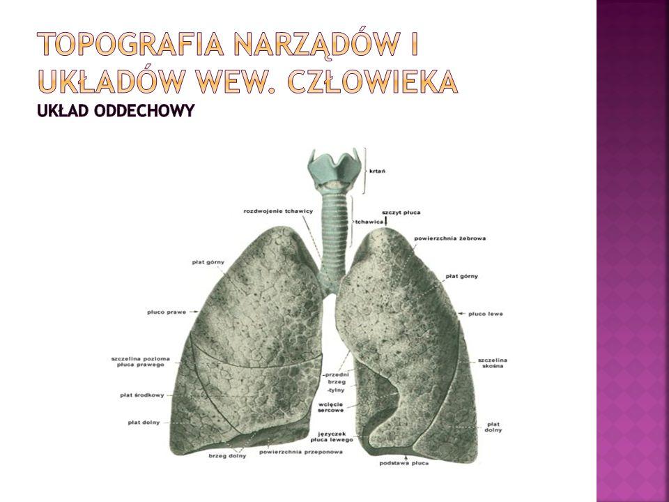 Topografia narządów i układów wew. Człowieka układ oddechowy