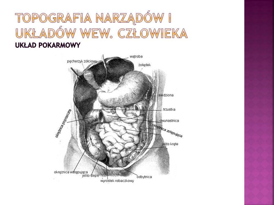 Topografia narządów i układów wew. Człowieka układ pokarmowy