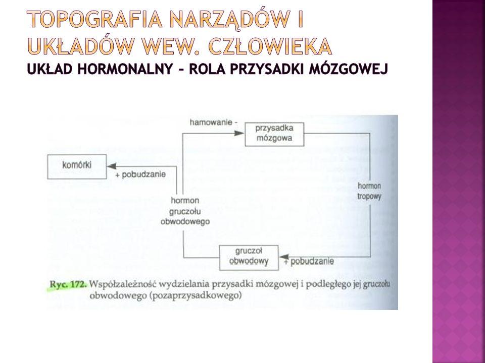 Topografia narządów i układów wew