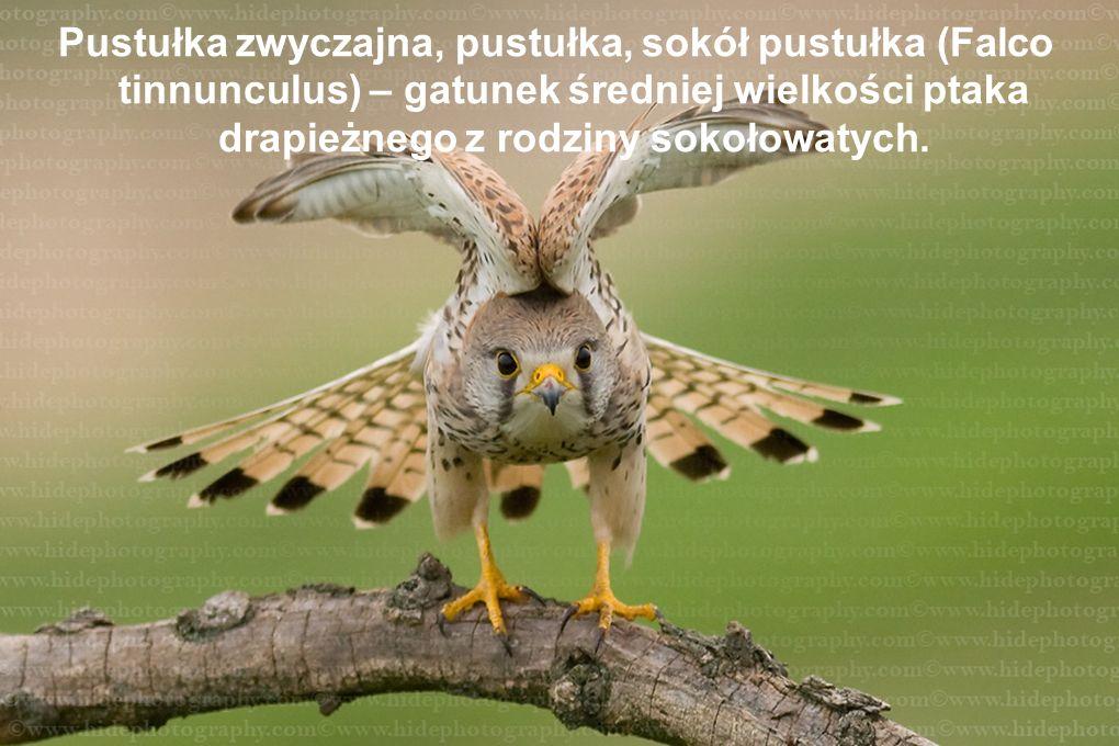 Pustułka zwyczajna, pustułka, sokół pustułka (Falco tinnunculus) – gatunek średniej wielkości ptaka drapieżnego z rodziny sokołowatych.