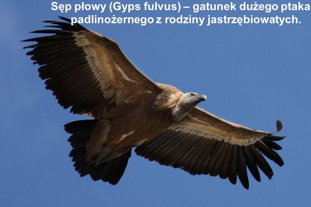 Sęp płowy (Gyps fulvus) – gatunek dużego ptaka padlinożernego z rodziny jastrzębiowatych.