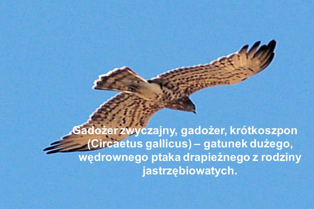 Gadożer zwyczajny, gadożer, krótkoszpon (Circaetus gallicus) – gatunek dużego, wędrownego ptaka drapieżnego z rodziny jastrzębiowatych.