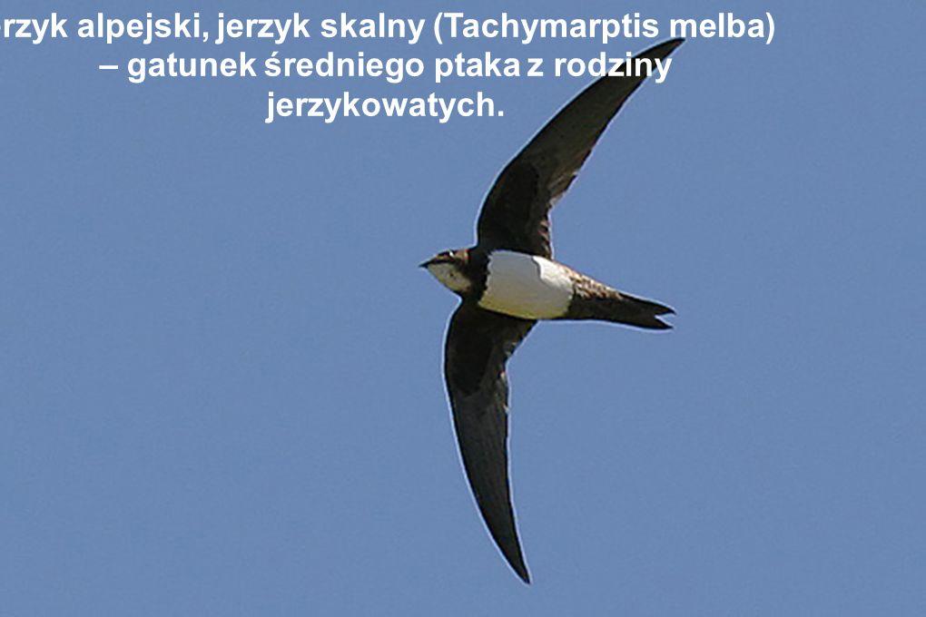 Jerzyk alpejski, jerzyk skalny (Tachymarptis melba) – gatunek średniego ptaka z rodziny jerzykowatych.