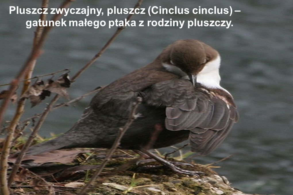 Pluszcz zwyczajny, pluszcz (Cinclus cinclus) – gatunek małego ptaka z rodziny pluszczy.