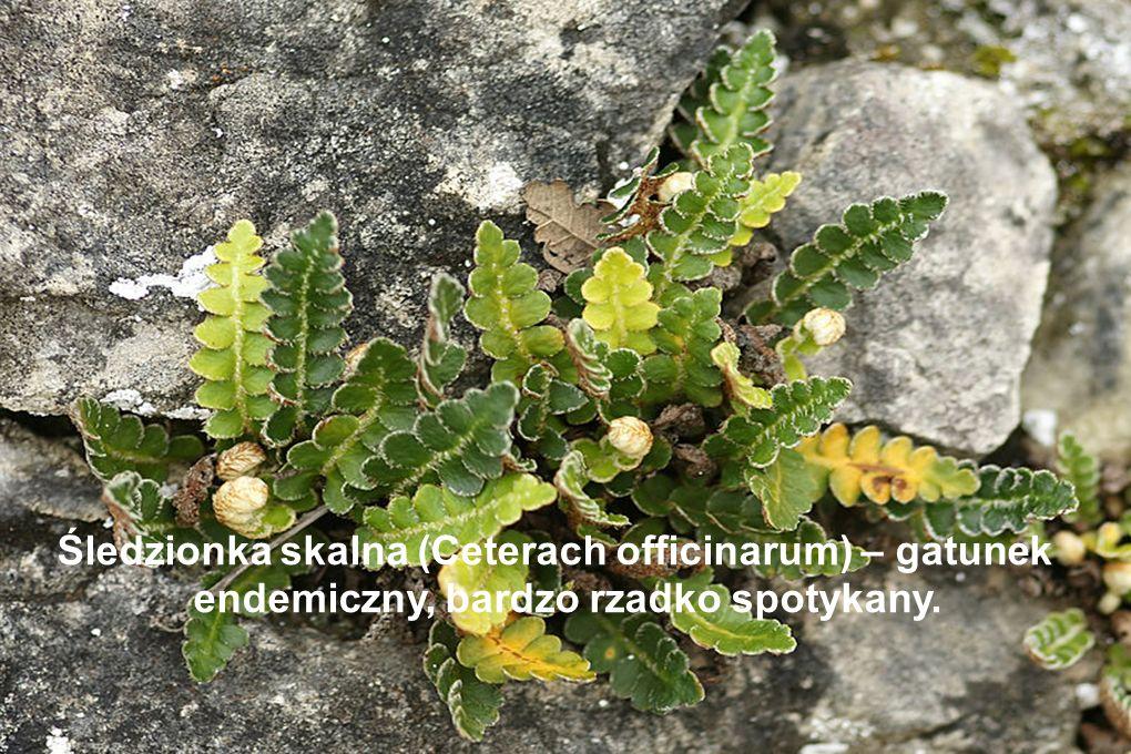 Śledzionka skalna (Ceterach officinarum) – gatunek endemiczny, bardzo rzadko spotykany.