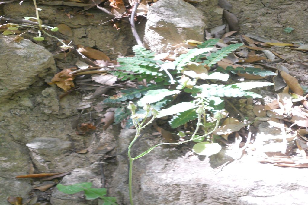 Śledzionka skalna (Ceterach officinarum), bardzo rzadko spotykana paproć, gatunek endemiczny.