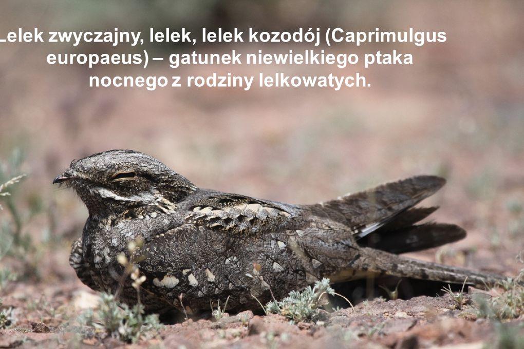 Lelek zwyczajny, lelek, lelek kozodój (Caprimulgus europaeus) – gatunek niewielkiego ptaka nocnego z rodziny lelkowatych.