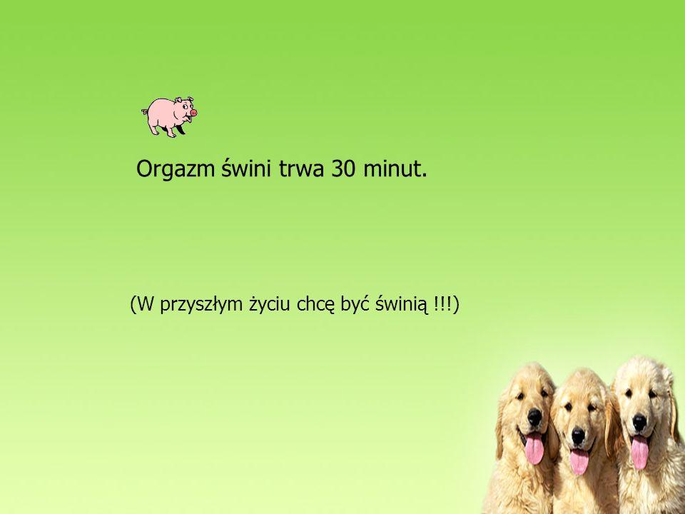 Orgazm świni trwa 30 minut.
