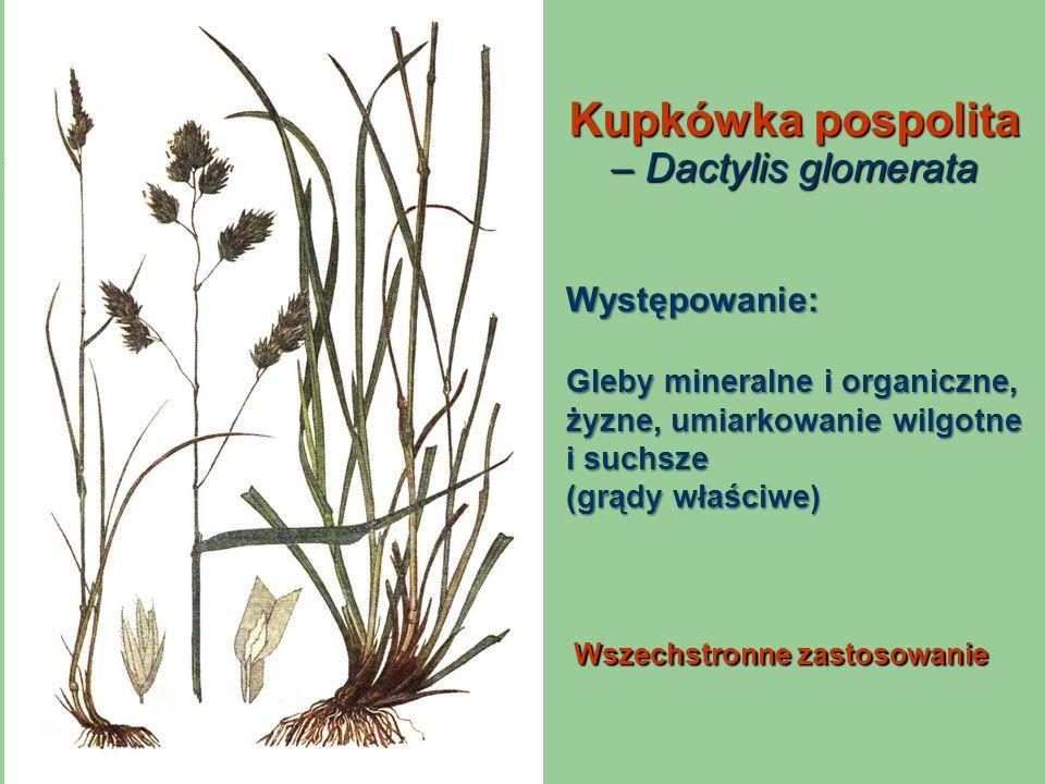 Kupkówka pospolita – Dactylis glomerata