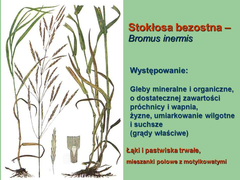Stokłosa bezostna – Bromus inermis