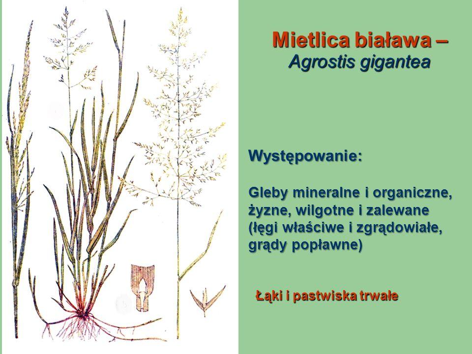 Mietlica biaława – Agrostis gigantea