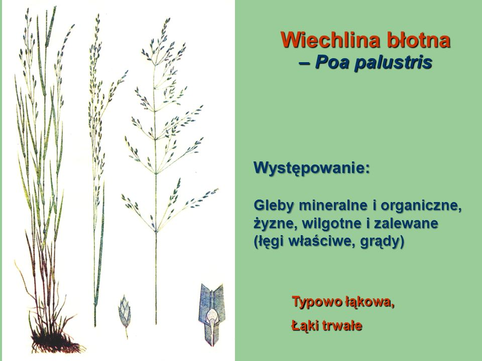 Wiechlina błotna – Poa palustris