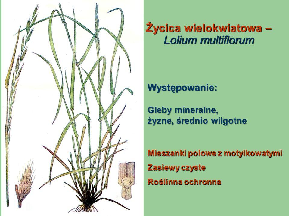 Życica wielokwiatowa – Lolium multiflorum
