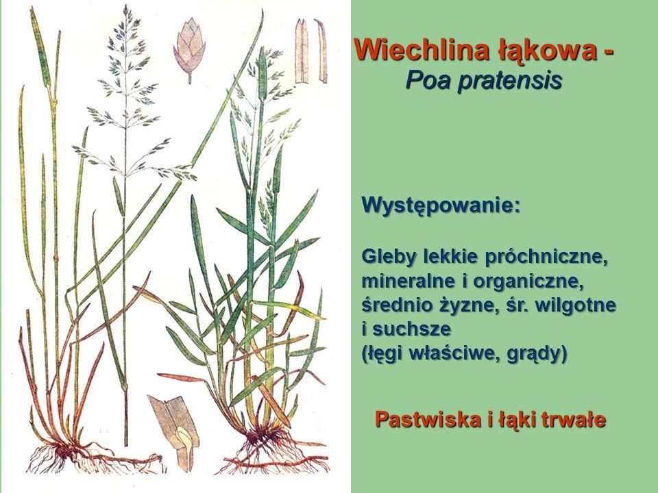 Wiechlina łąkowa - Poa pratensis