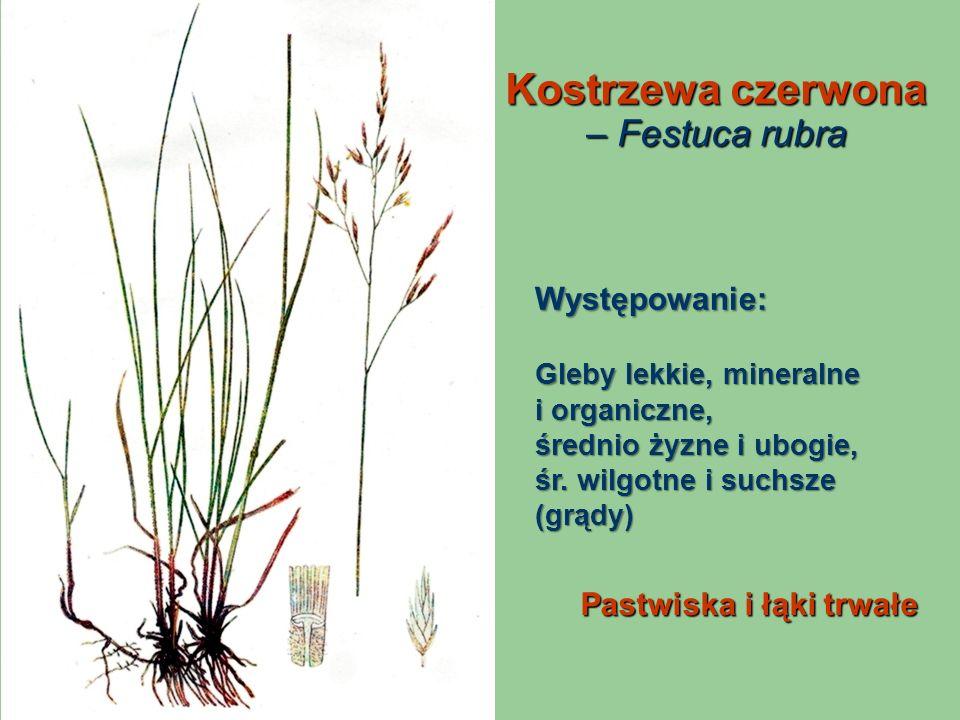 Kostrzewa czerwona – Festuca rubra