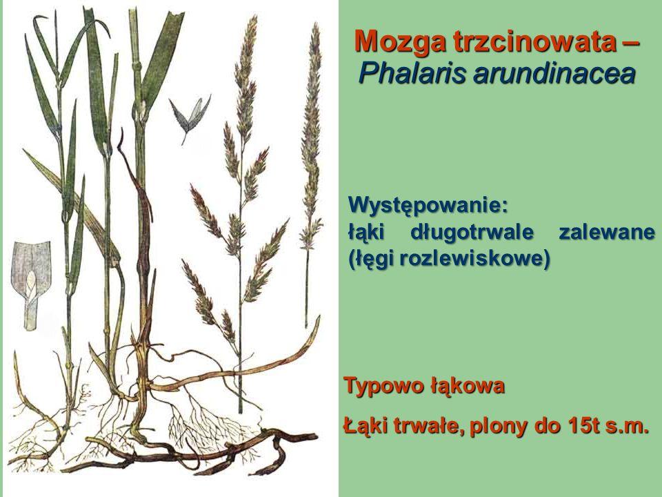 Mozga trzcinowata – Phalaris arundinacea
