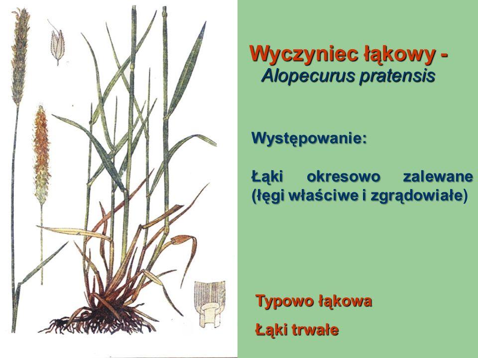Wyczyniec łąkowy - Alopecurus pratensis