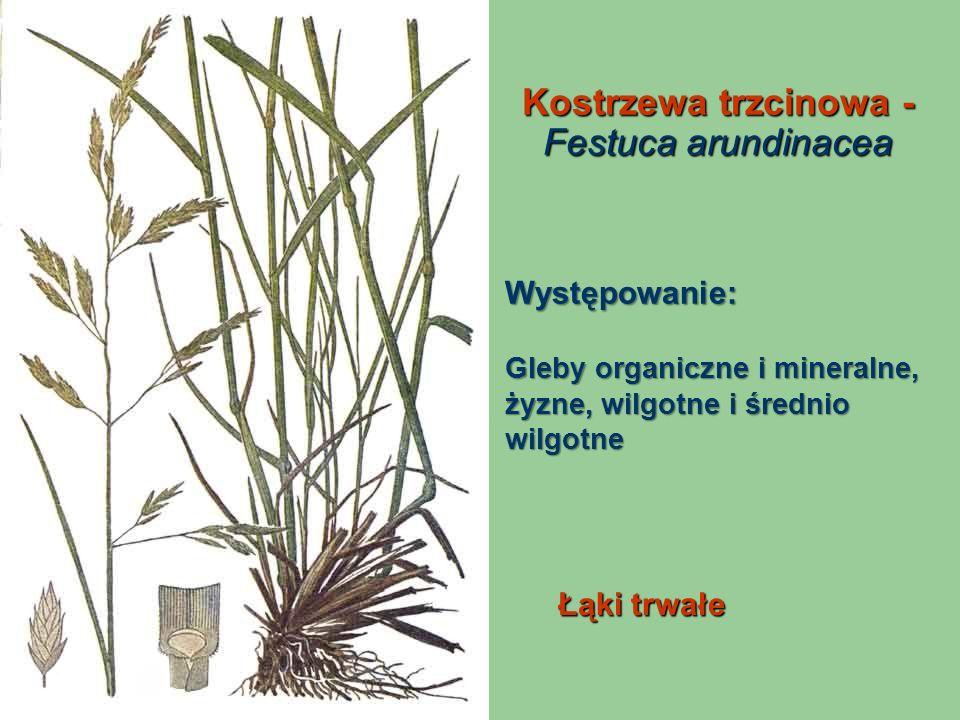 Kostrzewa trzcinowa - Festuca arundinacea