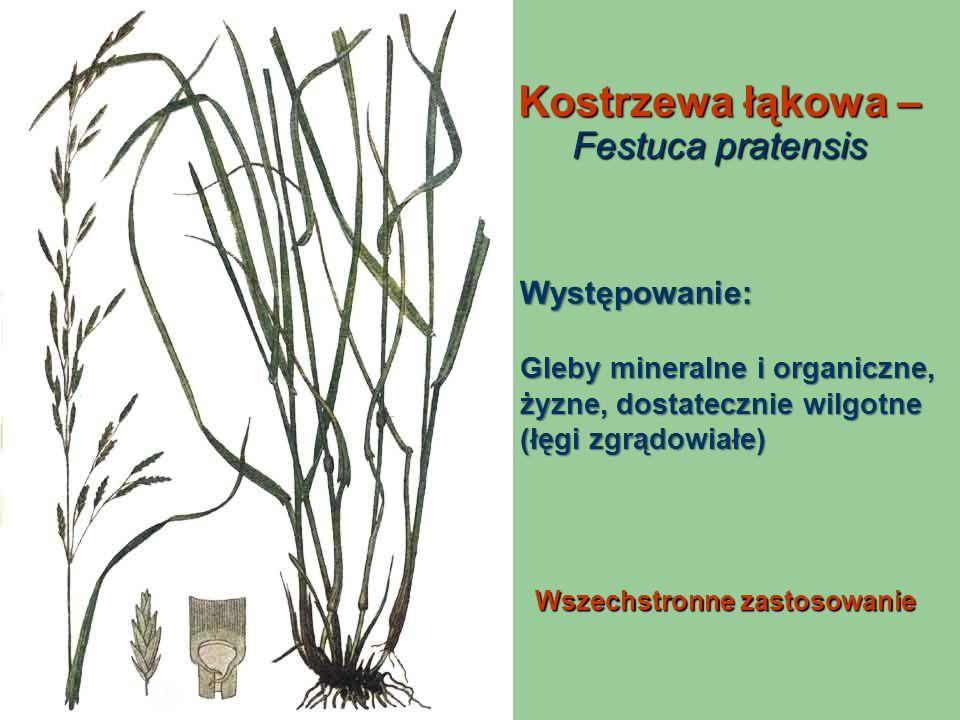 Kostrzewa łąkowa – Festuca pratensis