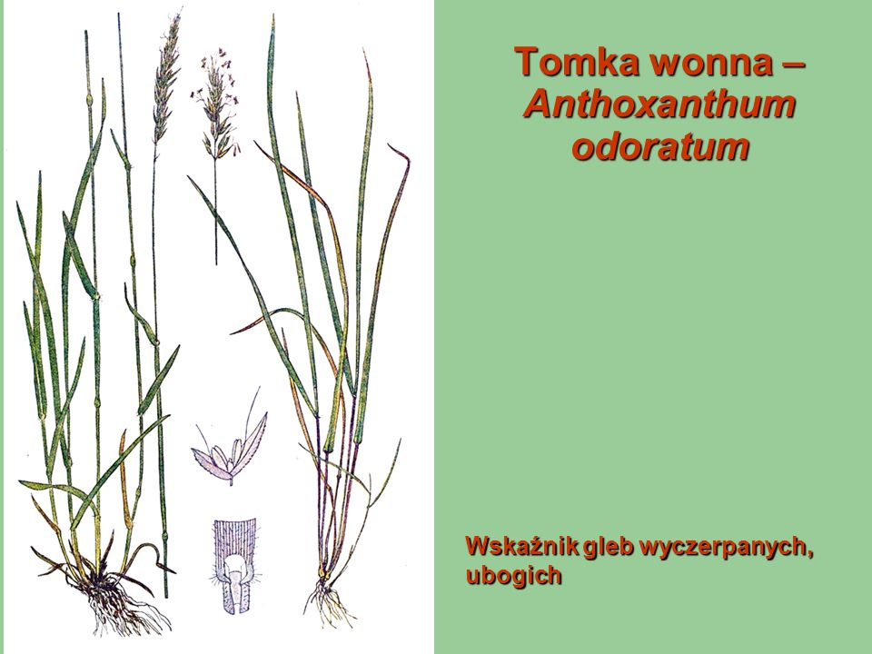 Tomka wonna – Anthoxanthum odoratum