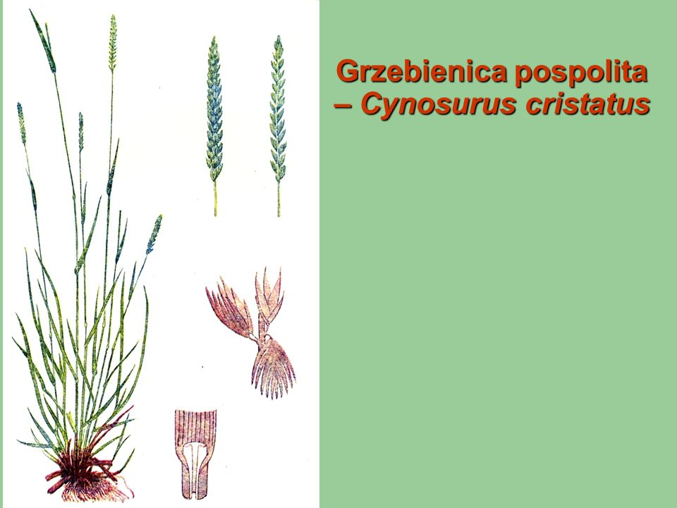 Grzebienica pospolita – Cynosurus cristatus