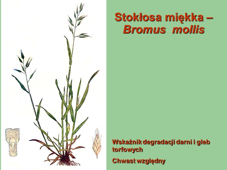 Stokłosa miękka – Bromus mollis