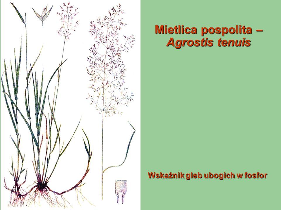 Mietlica pospolita – Agrostis tenuis