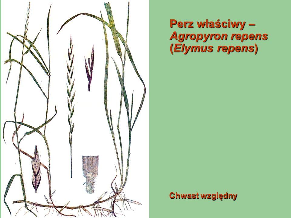 Perz właściwy – Agropyron repens (Elymus repens)