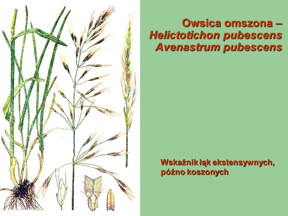 Owsica omszona – Helictotichon pubescens Avenastrum pubescens