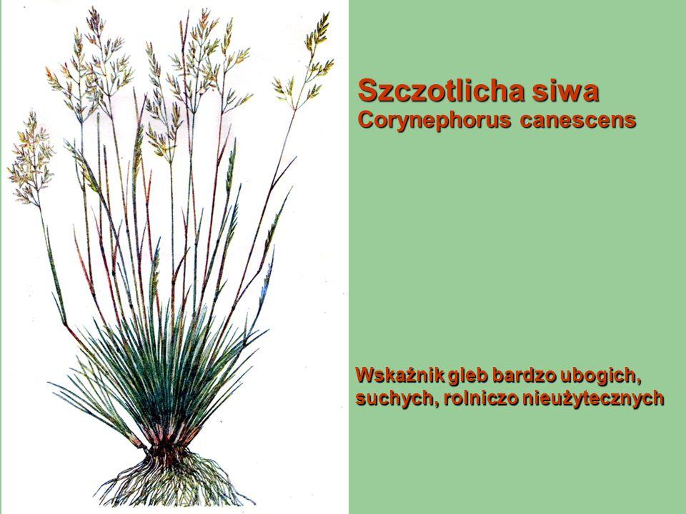 Szczotlicha siwa Corynephorus canescens