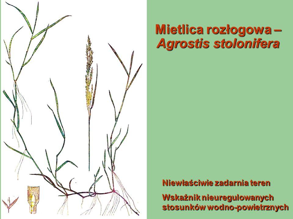 Mietlica rozłogowa – Agrostis stolonifera