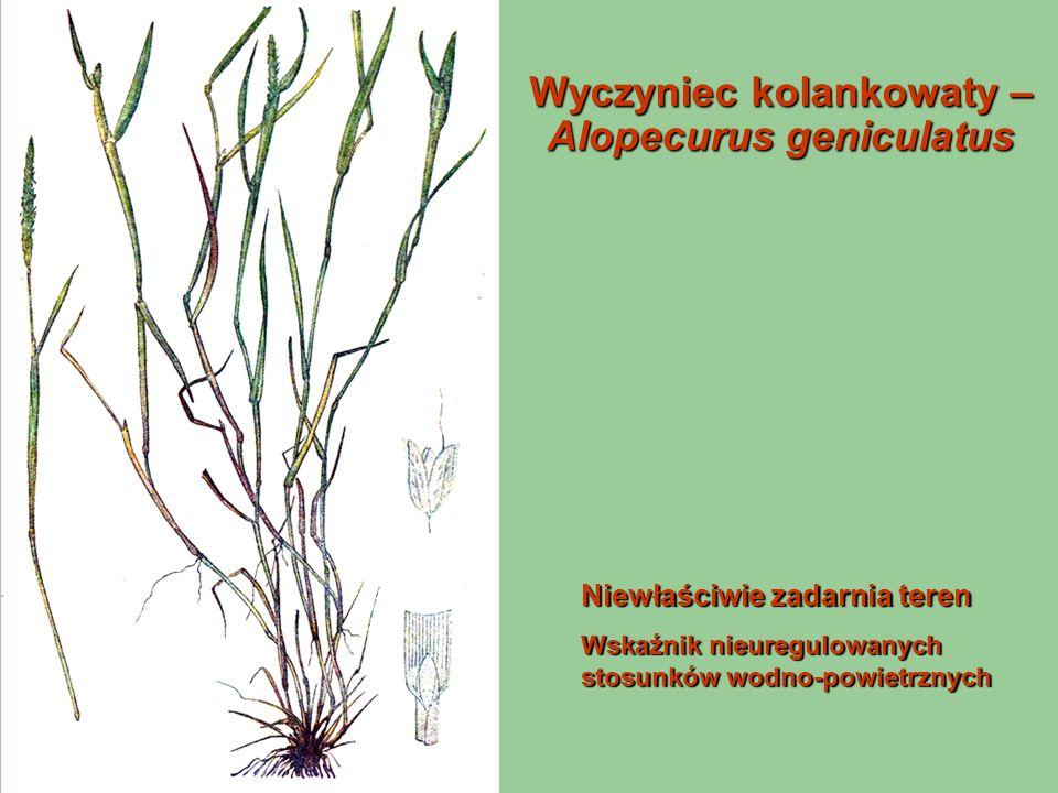 Wyczyniec kolankowaty – Alopecurus geniculatus