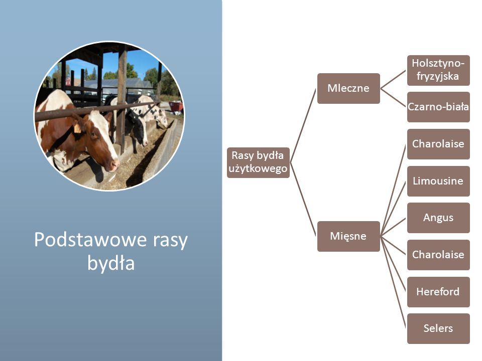 Schemat Podstawowe rasy bydła Rasy bydła użytkowego Mleczne