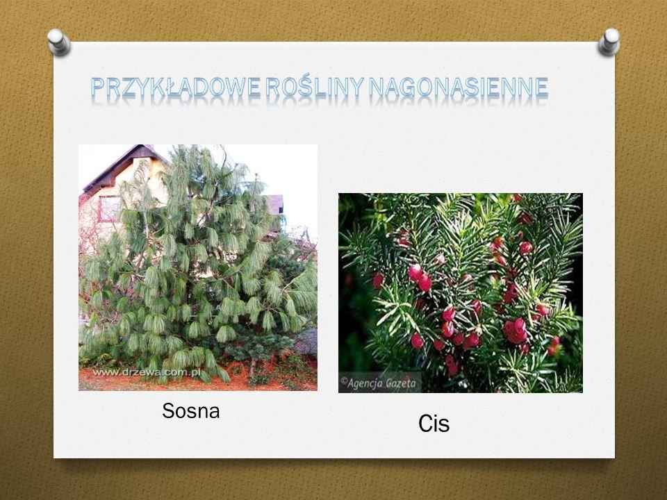 Przykładowe rośliny nagonasienne