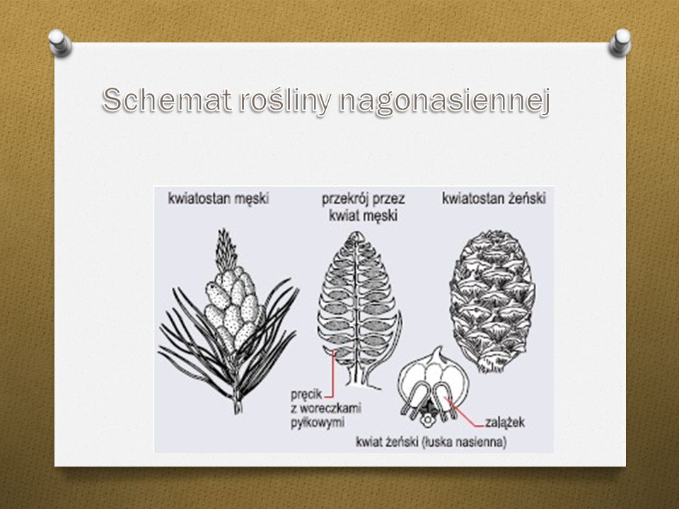 Schemat rośliny nagonasiennej