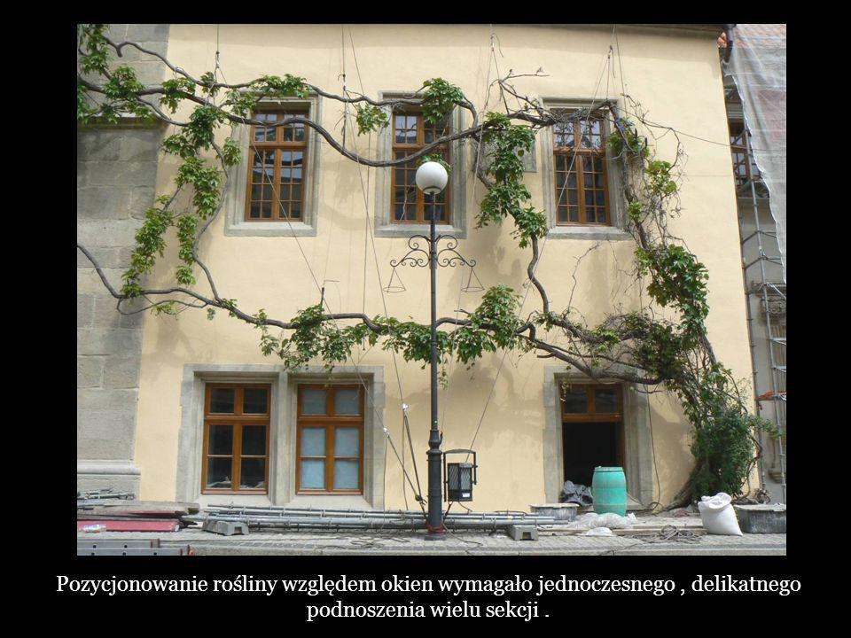 Pozycjonowanie rośliny względem okien wymagało jednoczesnego , delikatnego podnoszenia wielu sekcji .