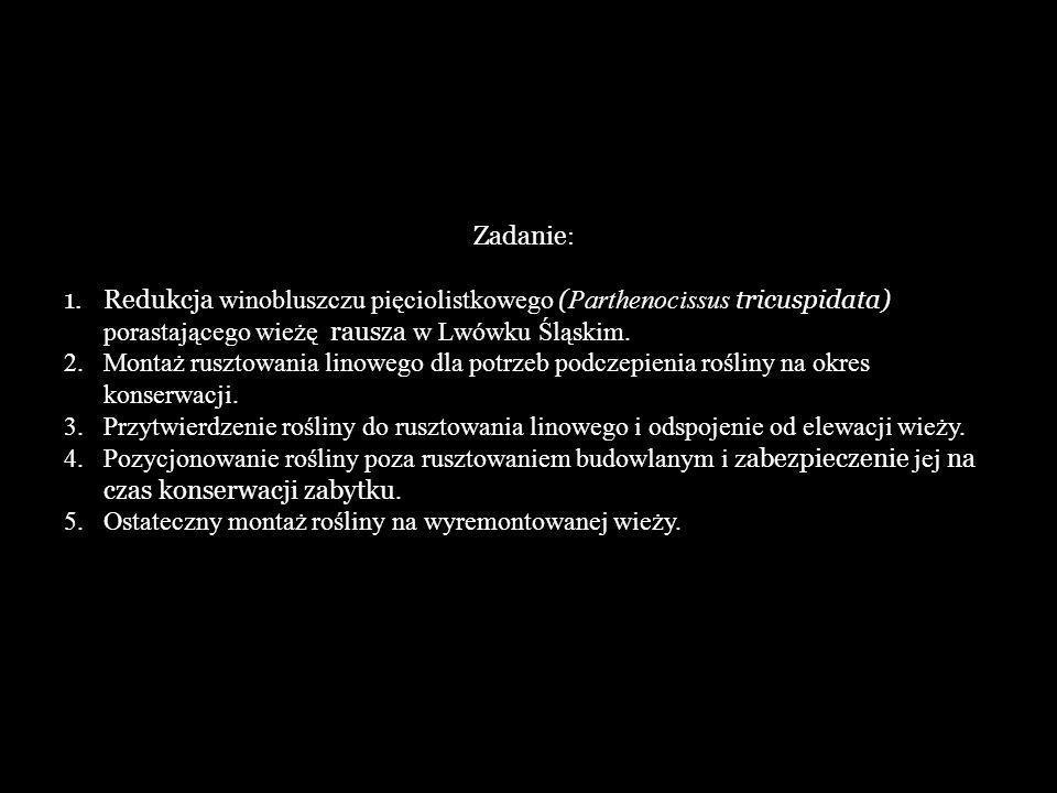 Zadanie: Redukcja winobluszczu pięciolistkowego (Parthenocissus tricuspidata) porastającego wieżę rausza w Lwówku Śląskim.