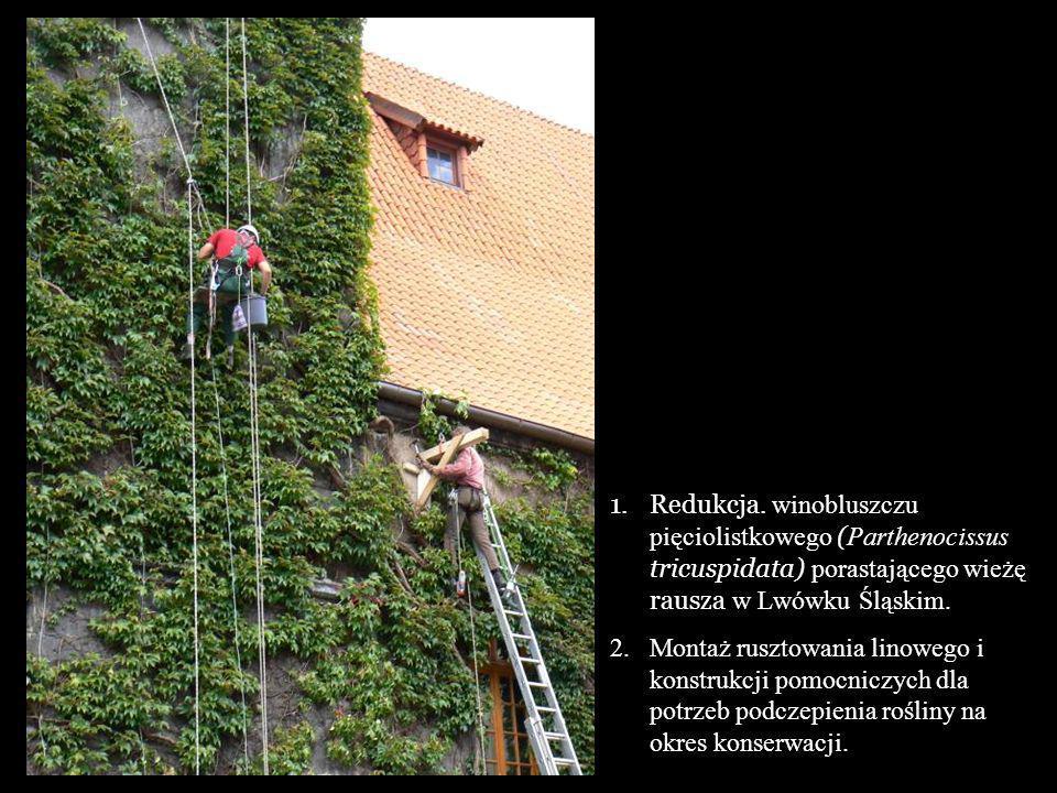 Redukcja. winobluszczu pięciolistkowego (Parthenocissus tricuspidata) porastającego wieżę rausza w Lwówku Śląskim.