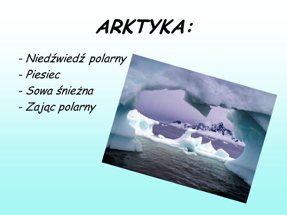 ARKTYKA: - Niedźwiedź polarny - Piesiec - Sowa śnieżna - Zając polarny