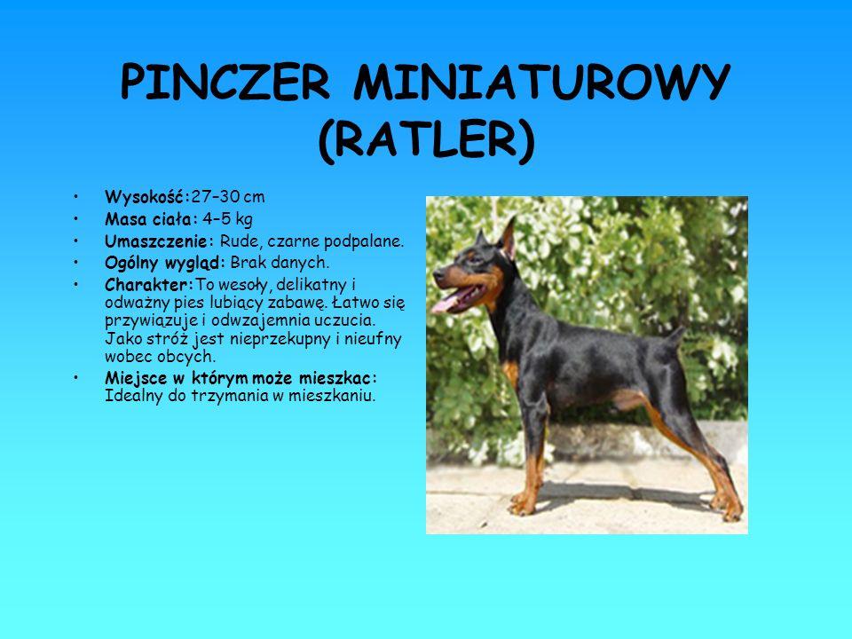PINCZER MINIATUROWY (RATLER)