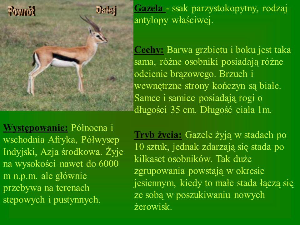 Gazela - ssak parzystokopytny, rodzaj antylopy właściwej.
