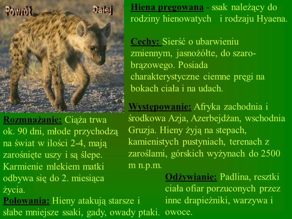 Hiena pręgowana - ssak należący do rodziny hienowatych i rodzaju Hyaena.