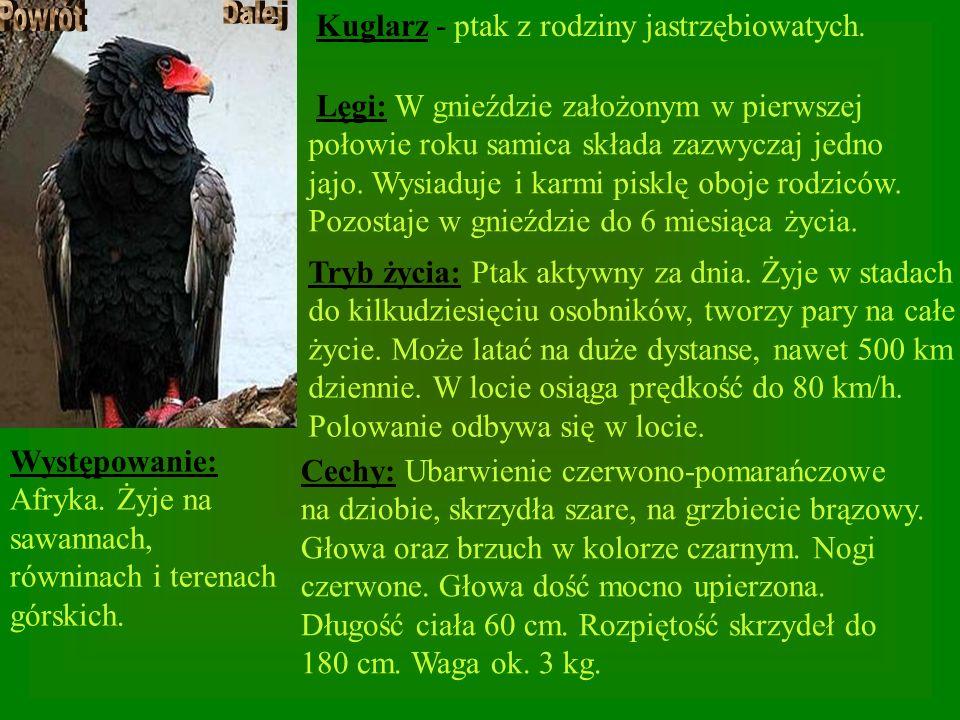 Kuglarz - ptak z rodziny jastrzębiowatych.
