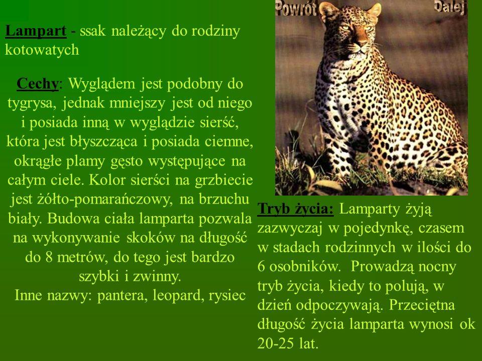 Inne nazwy: pantera, leopard, rysiec