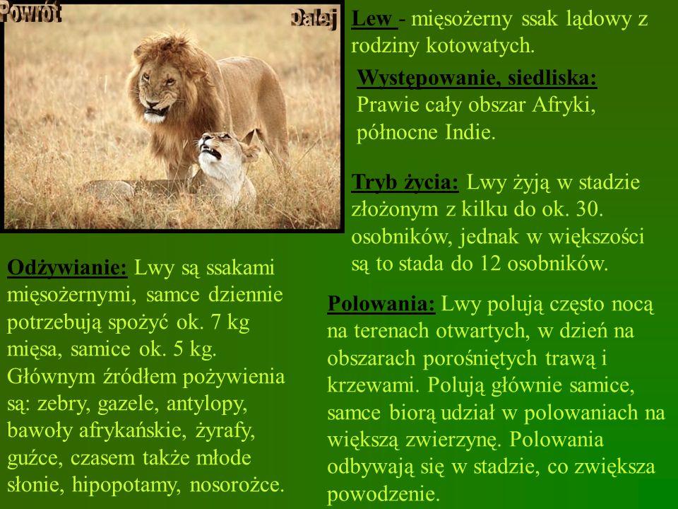 Lew - mięsożerny ssak lądowy z rodziny kotowatych.